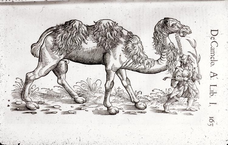 Camel,  Image number:76-15308