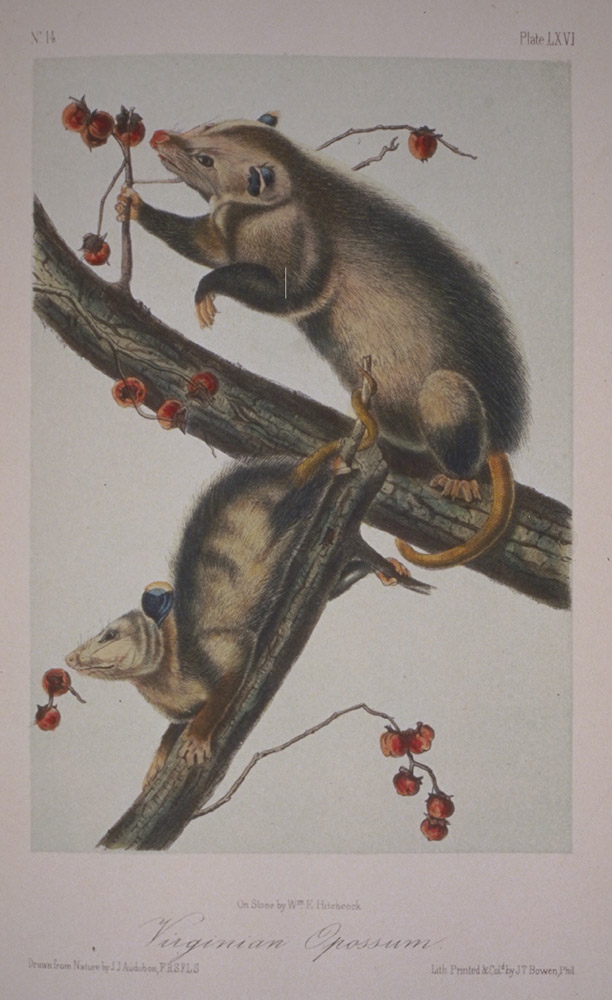 Opossum,  Image number:93-8618