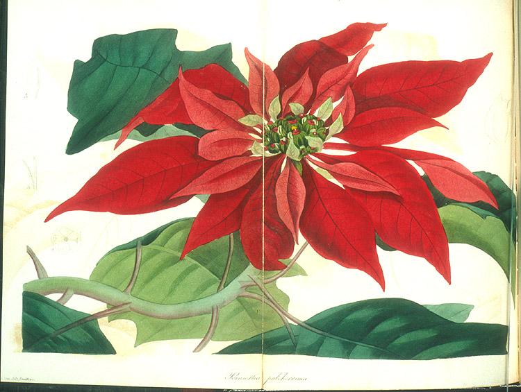 Pointsettia pulcherrima,  Image number:98-4760