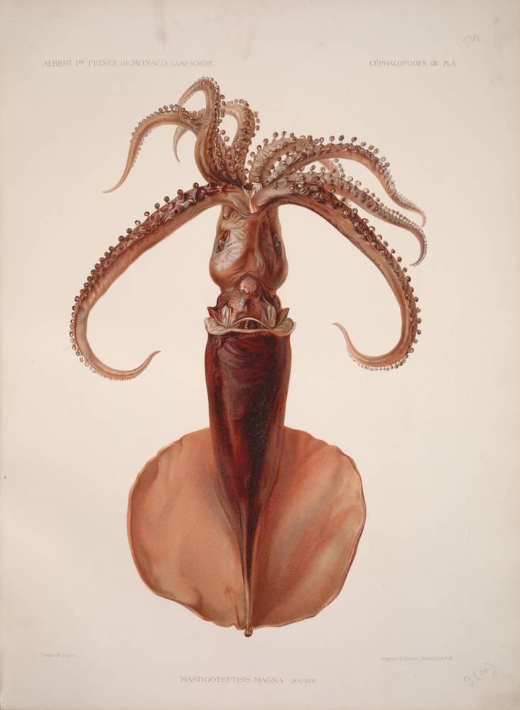 Oceanic squid,  Image number:39088008038382_0151