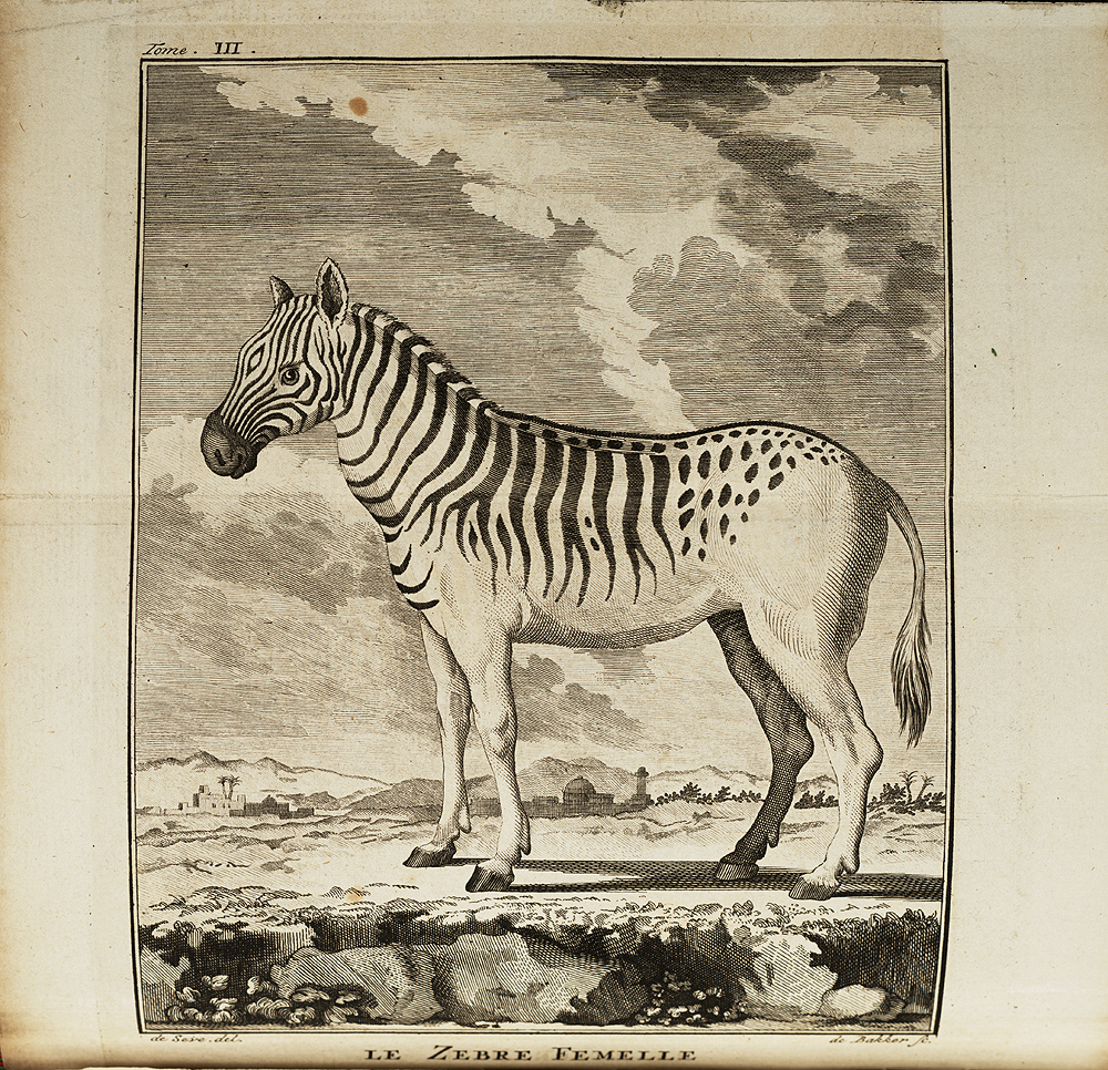 Dutch explorers Carel Brink and Hendrick Hop encountered zebras and quaggas during their expedition to the Cape. This illustration, from the published account of their travels, depicts an animal with the quagga's stripe pattern, but the caption reads