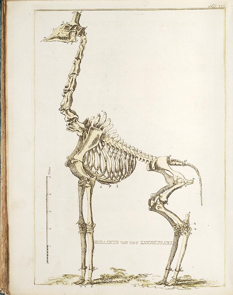 Geraamte van het Kameelpaart [Skeleton of Camelopard],  Image number:SIL28-312-04