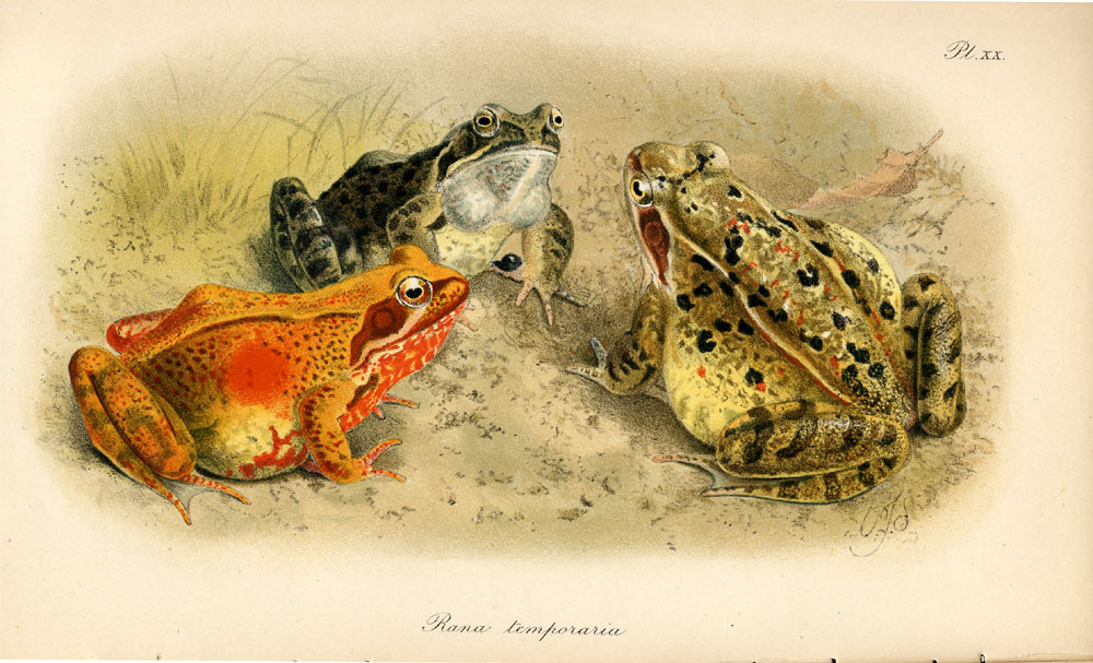 Illustration of 3 frogs on the ground,  Image number:SIL-007-502-20