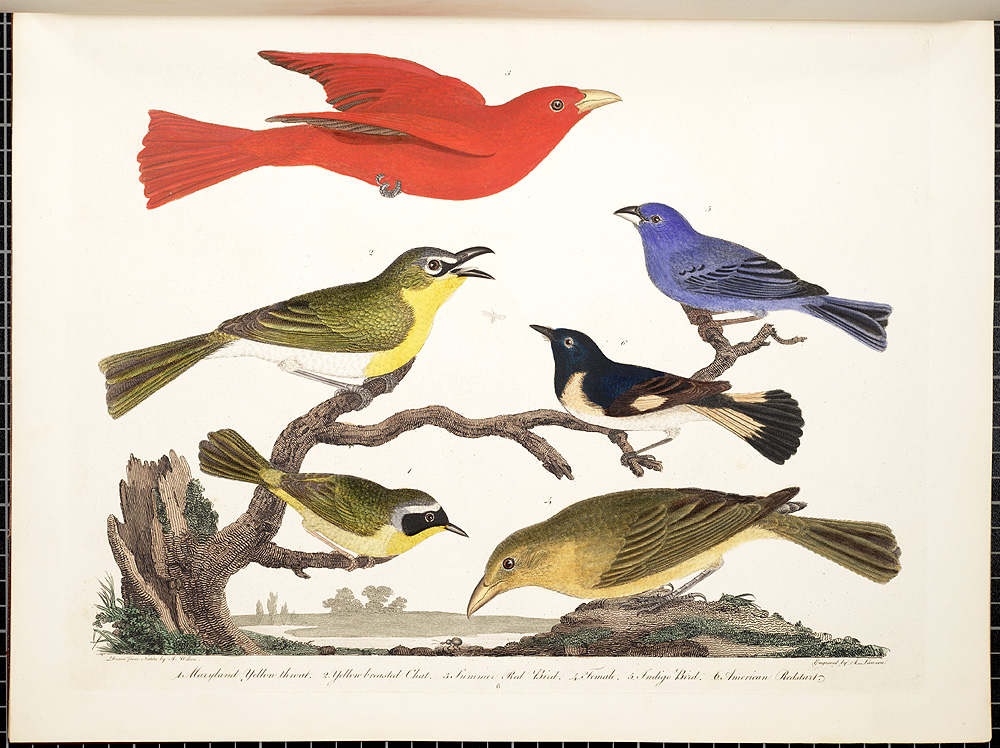 Alexander Wilson, American Ornithology; or The natural history of the birds of the United States, 1808-1814, 1. Maryland yellow throat. 2. Yellow breasted chat. 3. Summer red bird. 4. Female. 5. Indigo bird. 6. American redstart, pp. 6 ff.