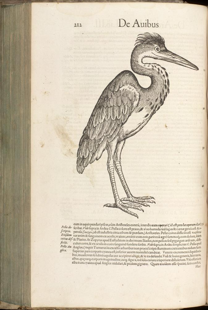 Konrad Gesner, Historia animalium [History of animals], 1551-87, p. 212 - Aiubus