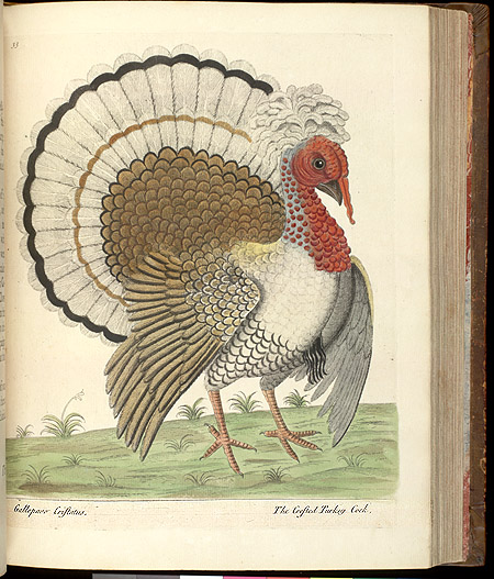 Plate 33 The Crested Turkey Cock,  Image number:SIL7-43-02