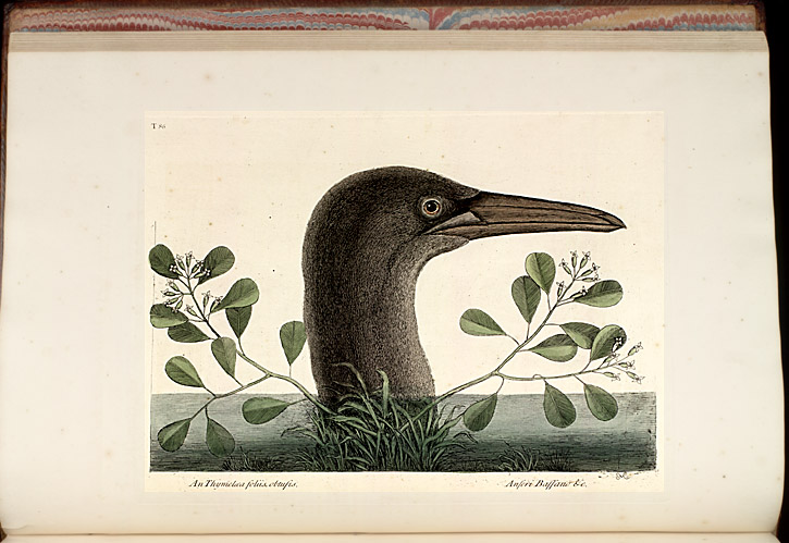 Plate 86 - The Great Booby,  Image number:SIL7-51-08