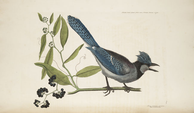 Plate 15 Blue Jay,  Image number:SIL7-51-15