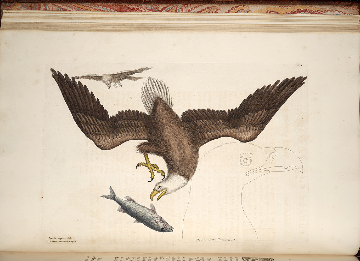 The White headed Eagle,  Image number:SIL7-051-029