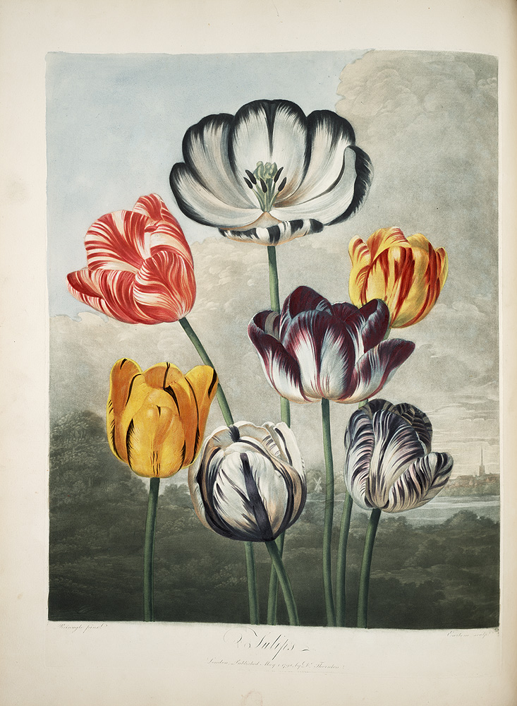 A Group of Tulips,  Image number:SIL7-290-06