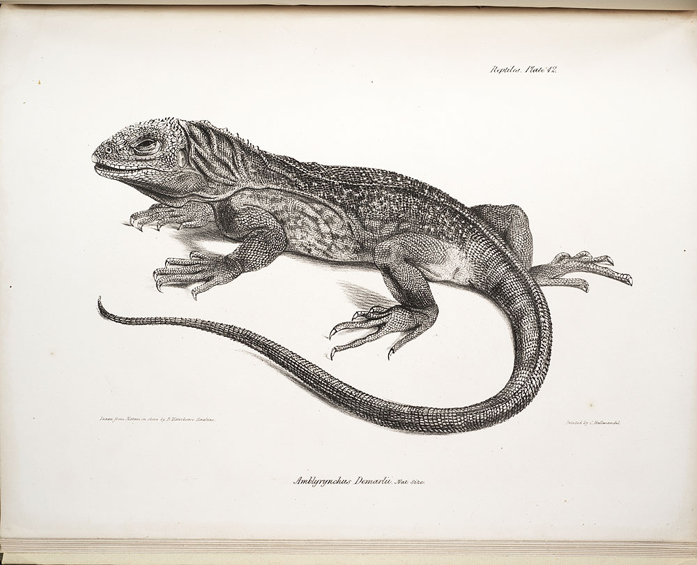 Zoology of the voyage of H.M.S. Beagle, under the command of... , 1839-1843, Plate 42. Amblyryuchus Demarlii [Iguana]