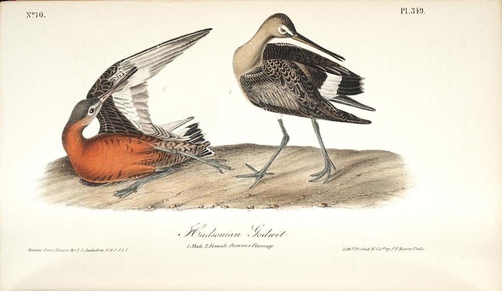 Hudsonian Godwit,  Image number:SIL7-333-01