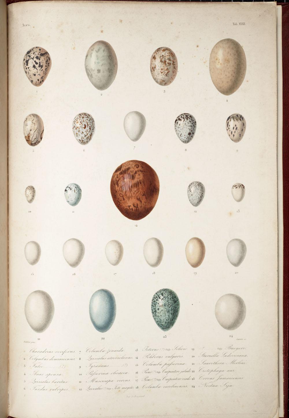 Ramon Sagra, Histoire physique, politique et naturelle de l'ile de Cuba,, 1838-1845, The eggs of 24 birds