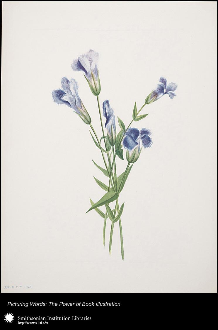 North American Wild Flowers, Mary Vaux Walcott (1860–1940), Washington, D.C.: Smithsonian Institution, 1925, Plate 336: flower