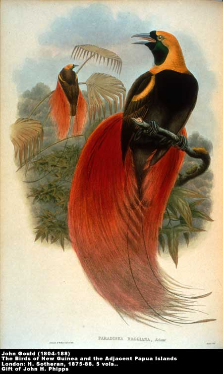 Marquis de Raggi's Bird of Paradise,  Image number:2-33-gould