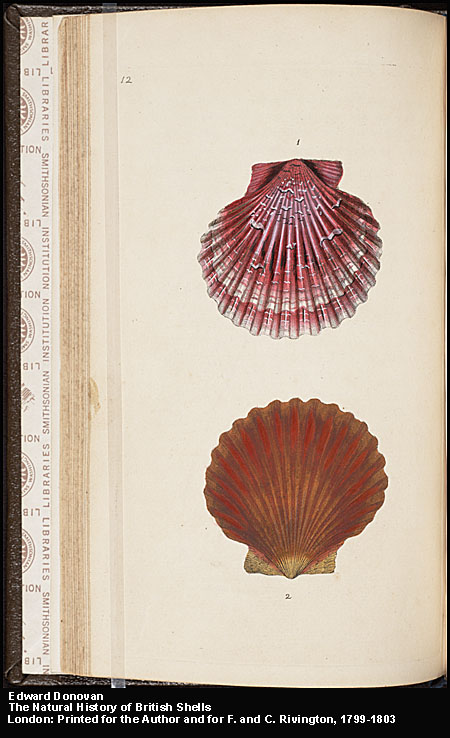 Plate 12: Two univalve seashells,  Image number:4-8-Donovan