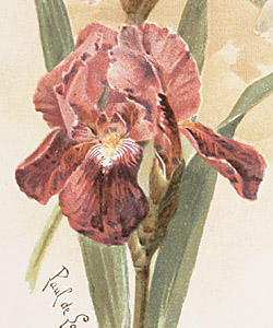 The lady of the house could use this exemplary group of iris as a guide when picking flowers.