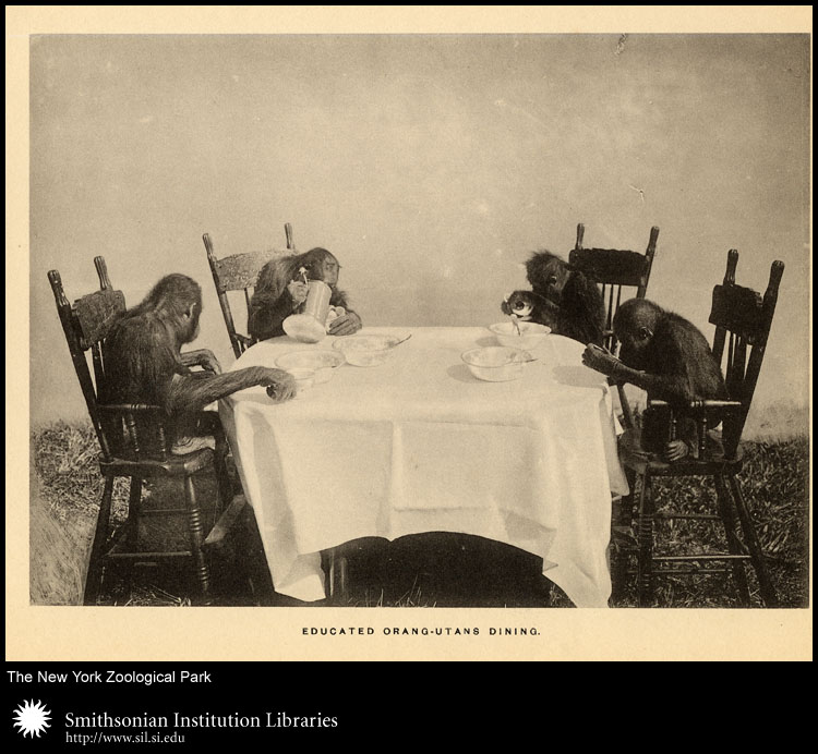 Orang-utans around a table,  Image number:sil24-013-04