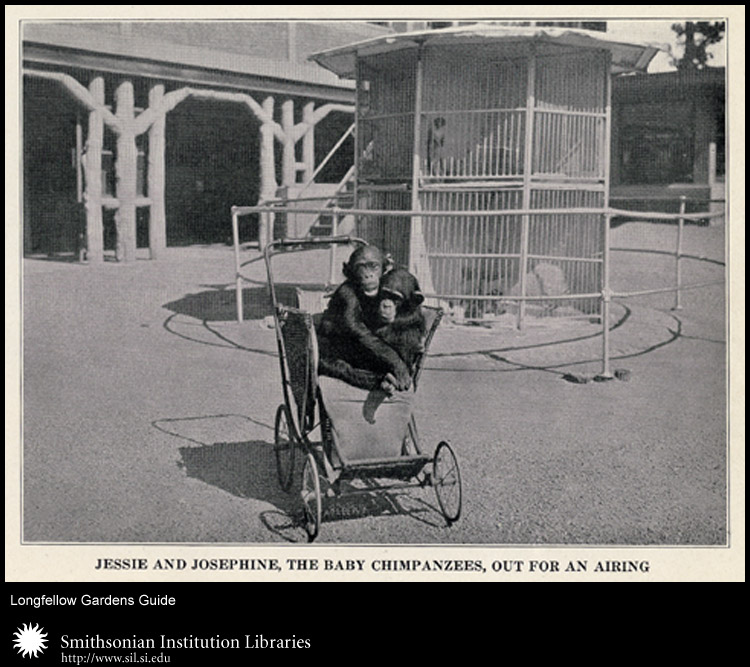 Chimpanzees were often used to stage imitations of civilized life. Note the cramped cages in the background.,  Image number:sil24-016-01b